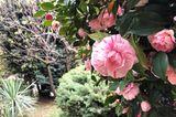 Camellia japonica 'Bicolor'