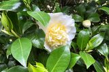 Camellia japonica 'Brushfield Yellow'