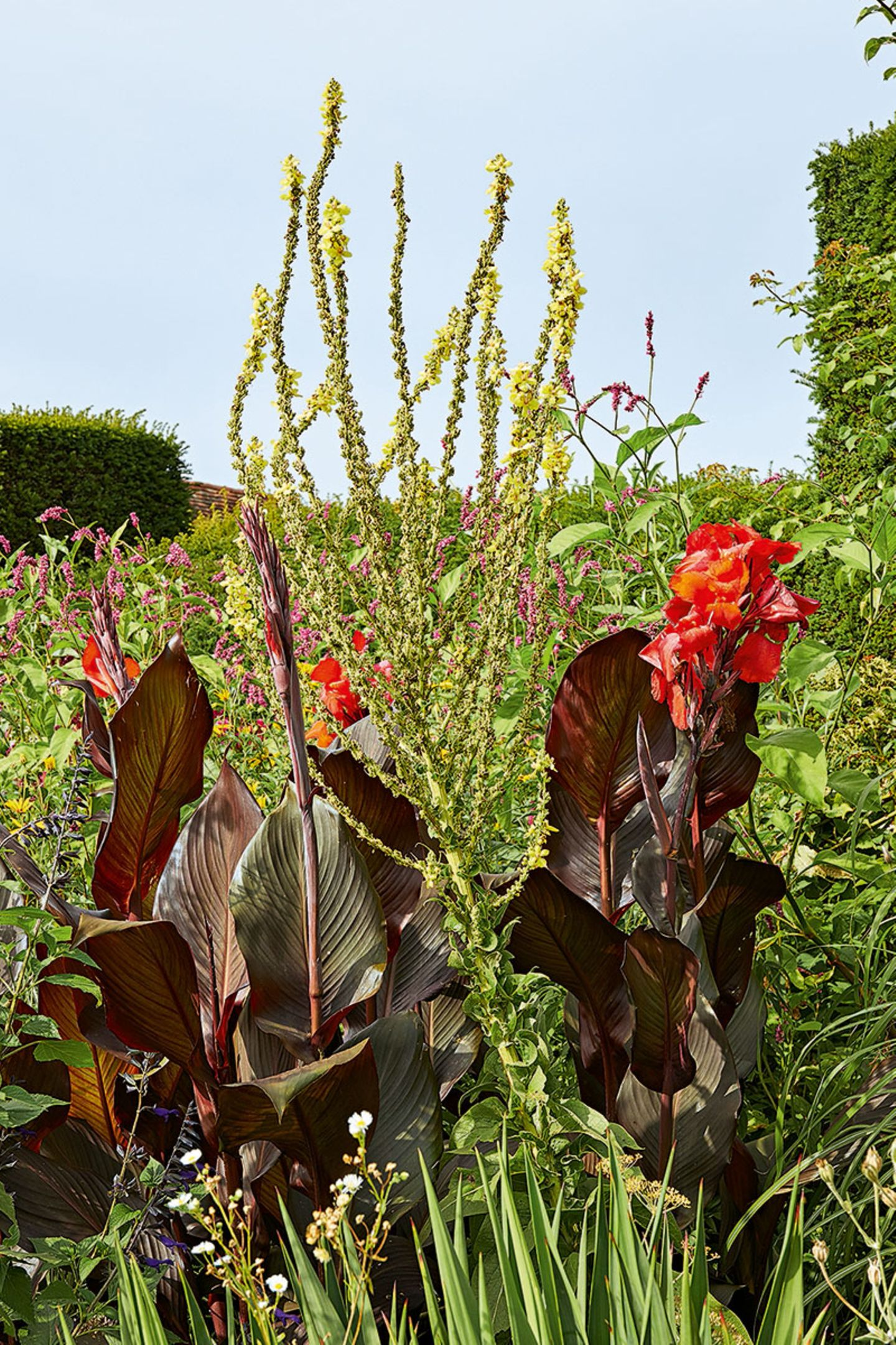 Indisches Blumenrohr (Canna)