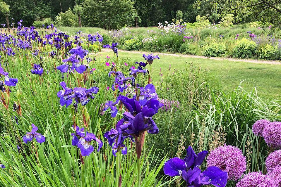 Bartlose Iris, Iris germanica