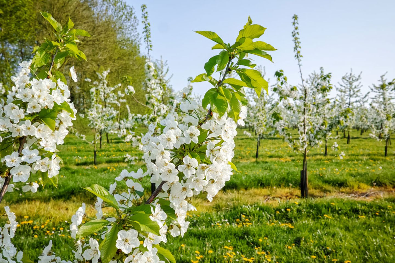Sauerkirsche in Blüte