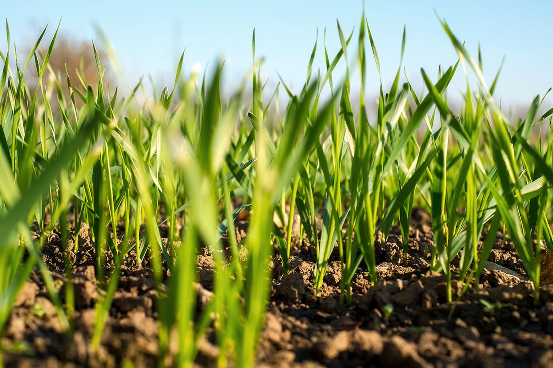 Rasen säen: dichte Grasnarbe