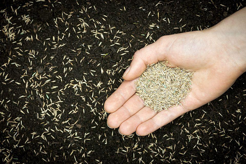 Rasen säe: Eine hochwertige und auf den Ort abgestimmt Rasensaat garantiert gute Ergebnisse.
