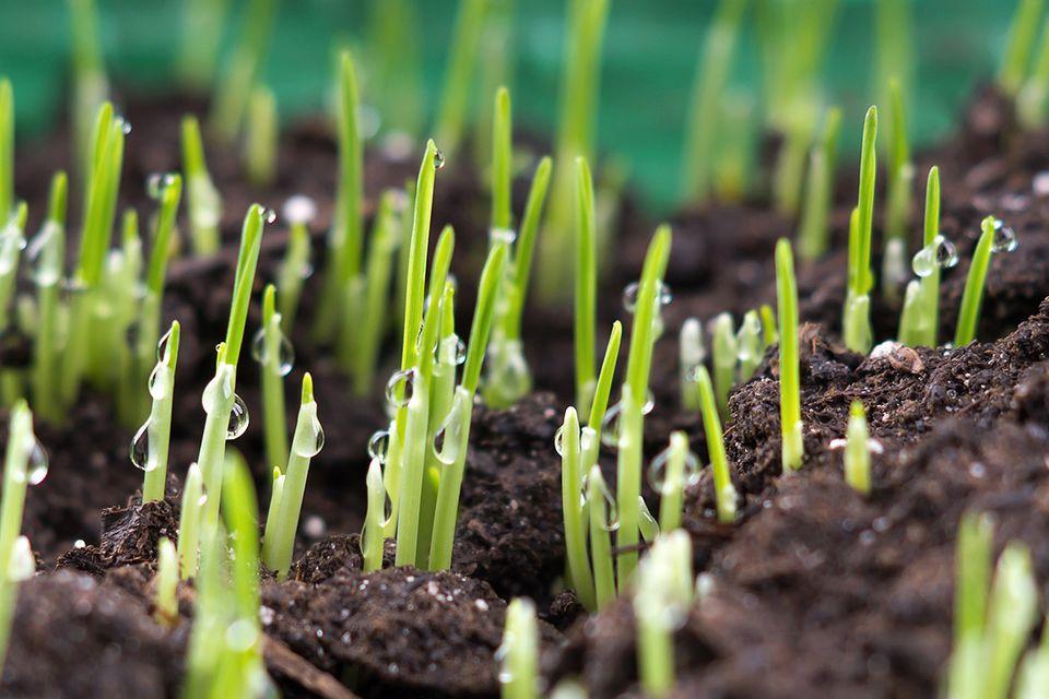 Rasen säen: Die neuen Halme sind zu nächst noch sehr empfidlich gegen Trockenheit und Frost.