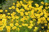 Färberpflanze: Anthemis tinctoria