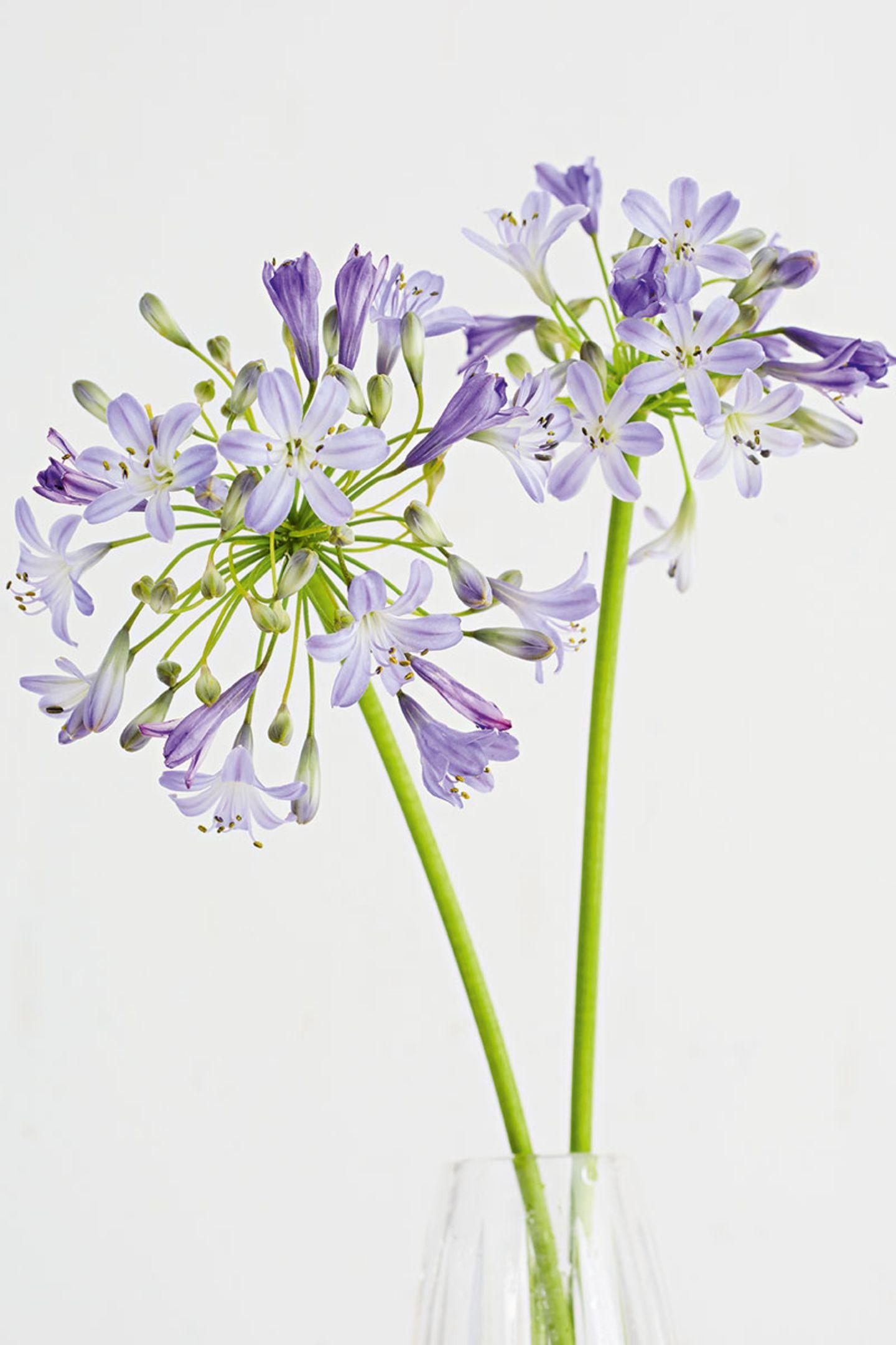 Schmucklilie in der Vase