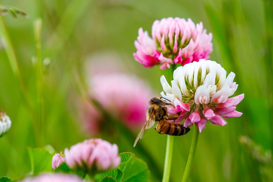 Klee mit Biene