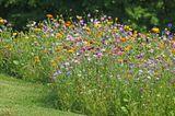 Blumenwiese im Rasen