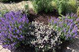 Blüten-Salbei im Beet mit Mulch