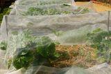 Pflanzenvlies über Erdbeeren als Schutz