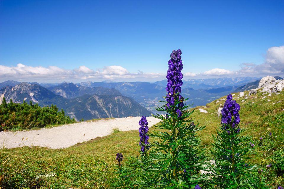 Eisenhut - Aconitum im Gebirge