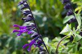 Ziersalbei Salvia amistad