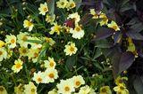 Schmetterlinge an Staudensonnenblume