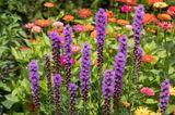 Herbstblumen - Ährige Prachtscharte - Rosenscharte - Liatris spicata