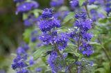 'Blauer Spatz' (Caryopteris x clandonensis)