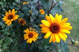 Sonnenauge Heliopsis 'Punto Rosso'