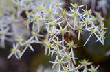 Oktober-Steinbrech-Saxifraga cortusifolia