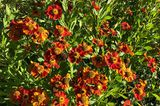 Sonnenbraut Helenium-autumnale
