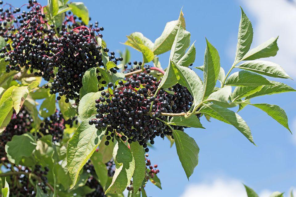 Holunderfrüchte Sambucus