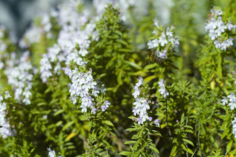 Pflanzenlexikon: Bohnenkraut mit Blüte