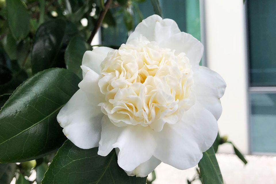 Camellia japonica 'Snowman'