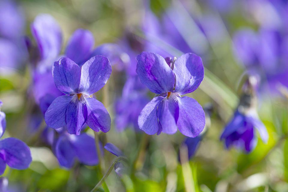 Viola odorata - Duftveilchen
