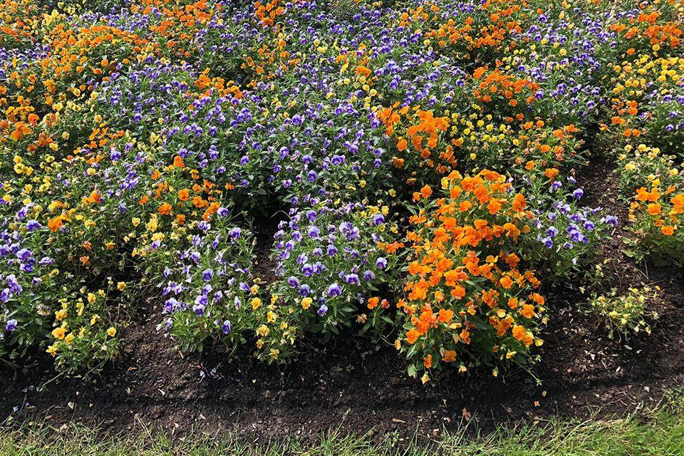 Hornveilchen Viola cornuta 'Twix-Orange'