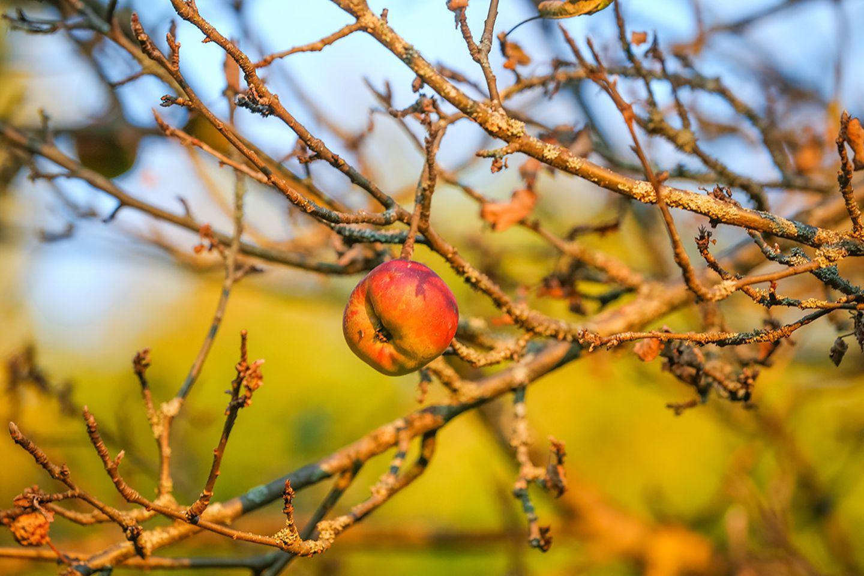 Garten winterfest machen: Fruchtmumien entfernen