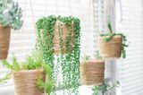 Sukkulenten, Erbsenpflanze