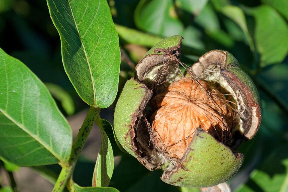 Geöffnete Walnuss-Frucht