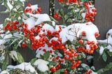 Feuerdorn-Beeren im Schnee, Pyracantha coccinea