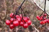 Gemeiner Schneeball Früchte Viburnum opulus