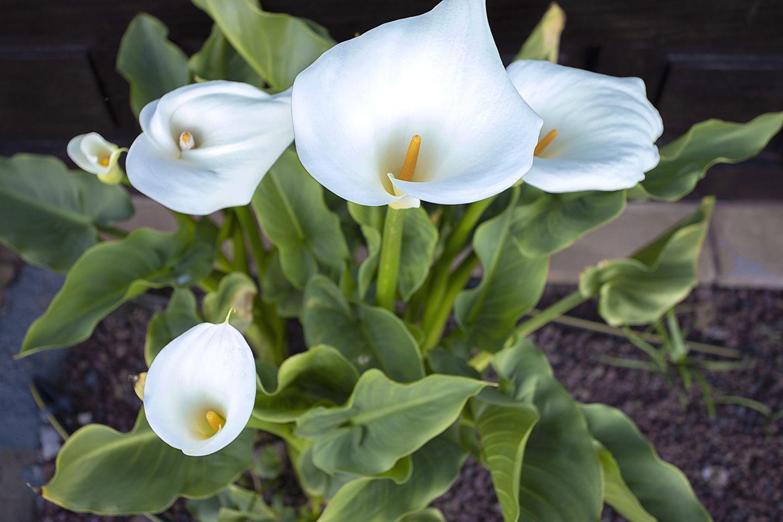 Pflanzenlexikon: weiße Calla
