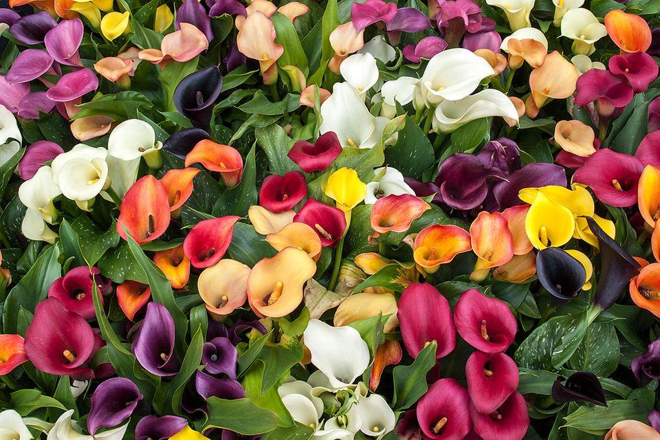 Pflanzenlexikon:  Calla in Weiß und in farbigen Varianten von lila bis gelb