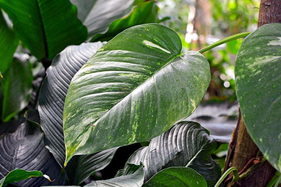 Pflanzenlexikon: Efeutute mit großen Blättern