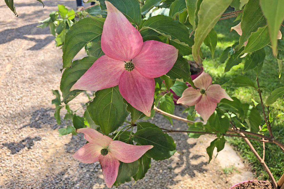 Chinesischer Blumen-Hartriegel Cornus kousa 'Scarlet Fire'