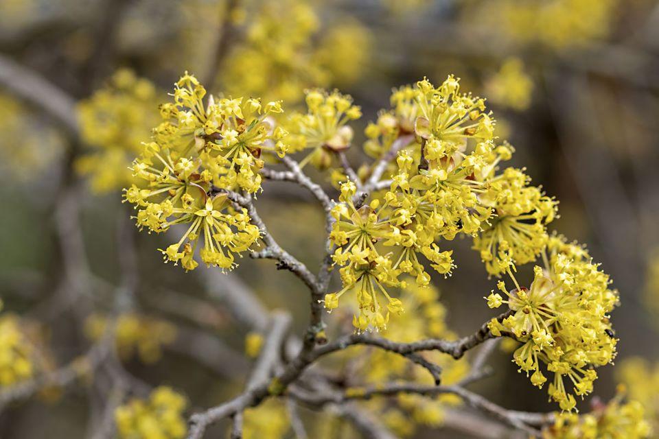 Kornelkirschenblüte Cornus mas