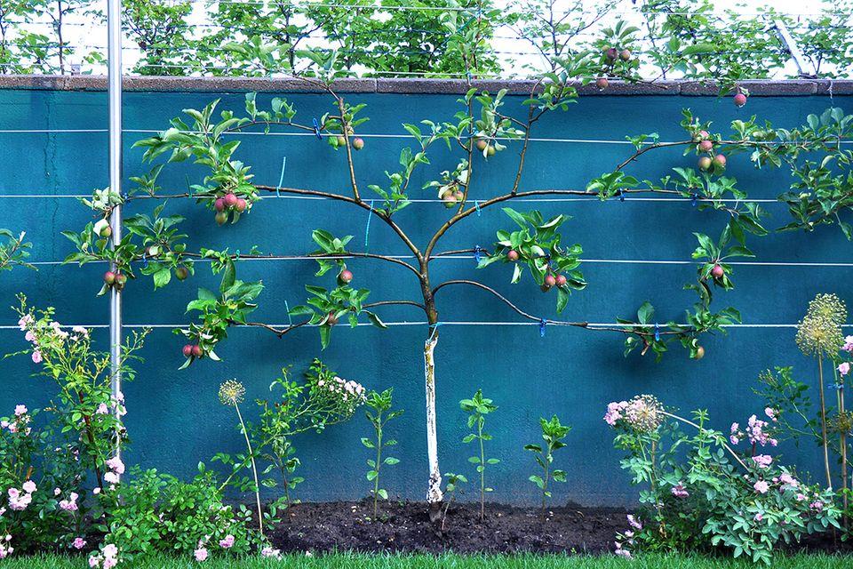 Pflanzenlexikon: Apfelbaum als Spalierbaum