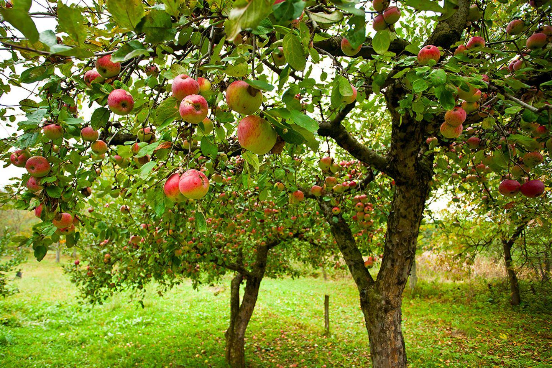Pflanzenlexikon: Apfelbaum im Garten