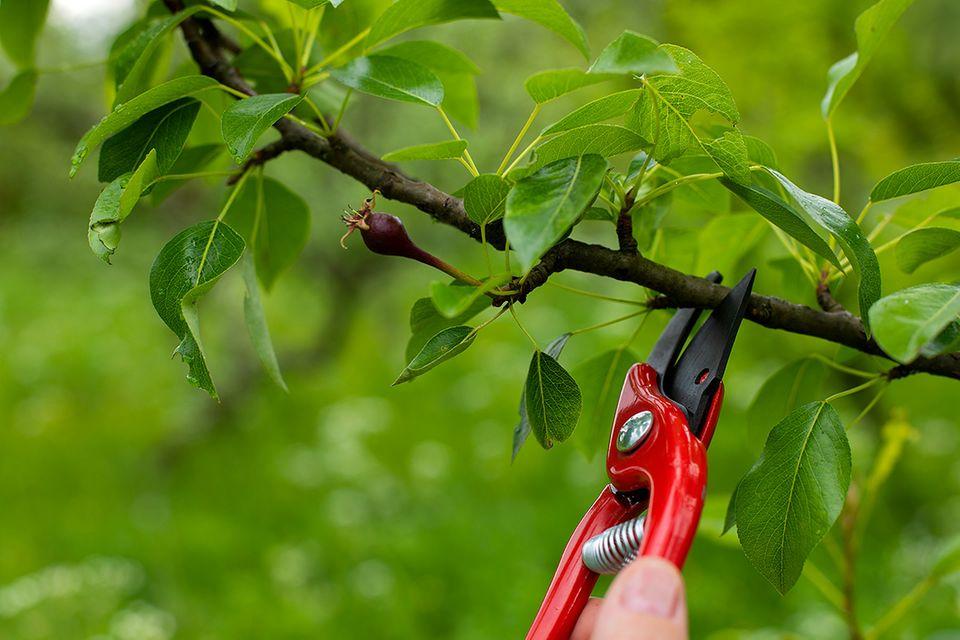 Pflanzenlexikon: Apfelbaum schneiden