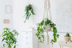 Efeu als Hängepflanze