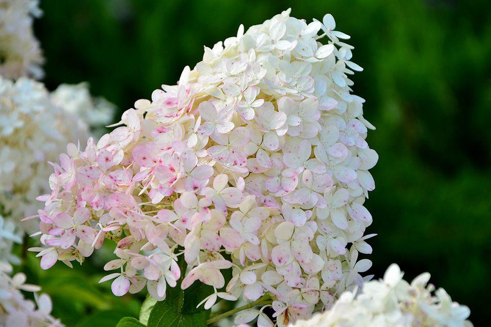 Pflanzenlexikon: Rispenhortensie mit Blüte
