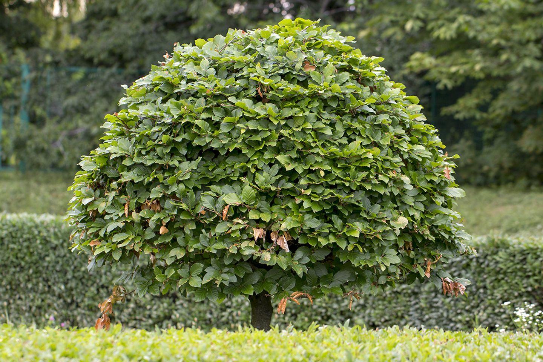 Pflanzen: Hainbuche als Baum mit Formschnitt