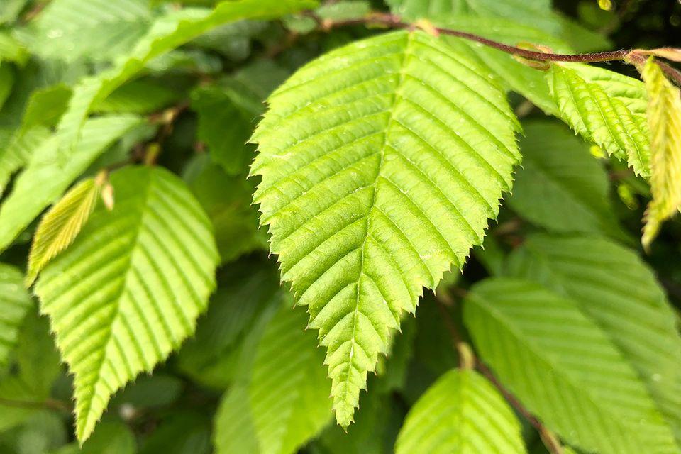 Hainbuche: hellgrüne Blätter im Frühjahr