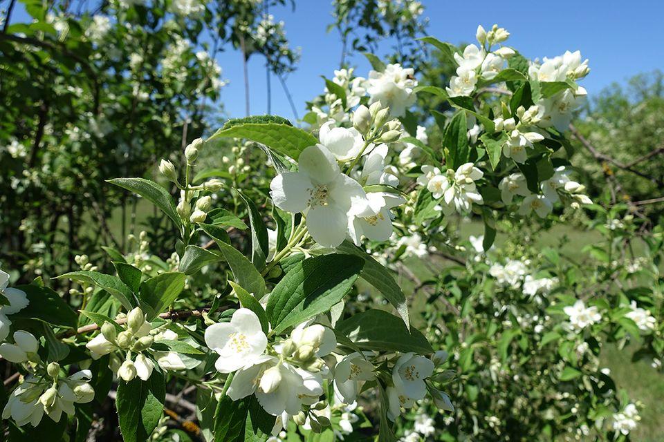Gartenjasmin mit weißen Blüten
