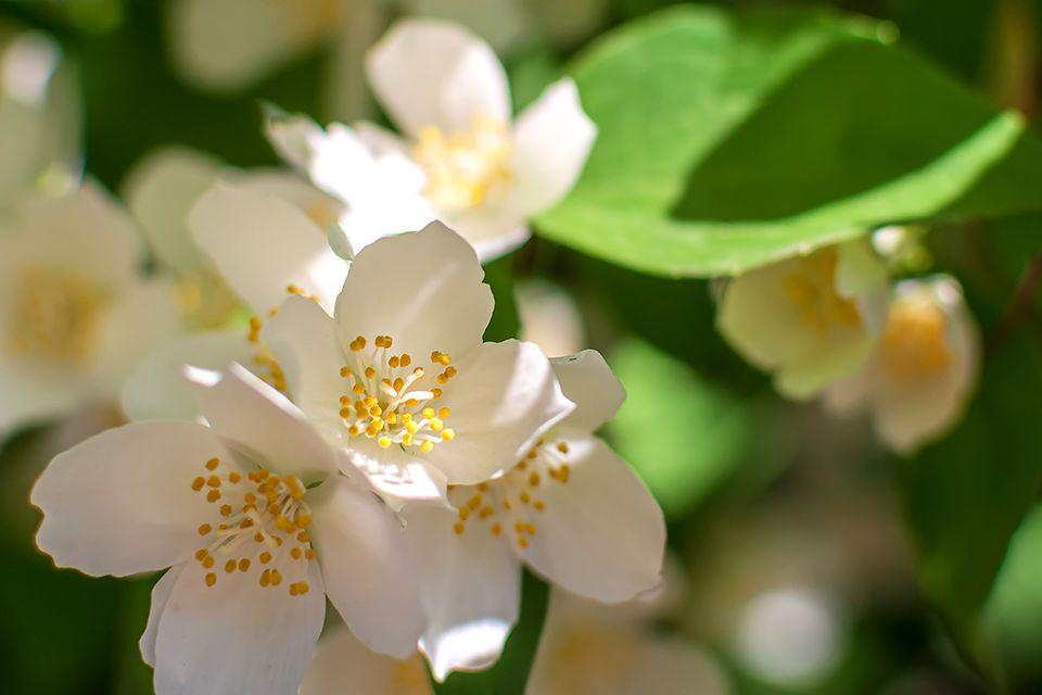 Gartenjasmin mit weißer Blüte und grünem Blatt