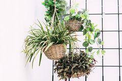 Hängepflanzen, Leuchterblume, Peperomie