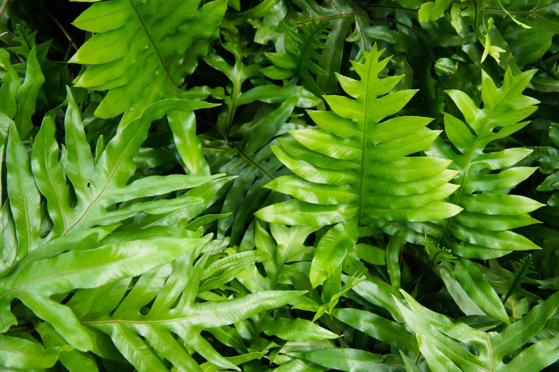 Microsorum scolopendrium – Eichblattfarn