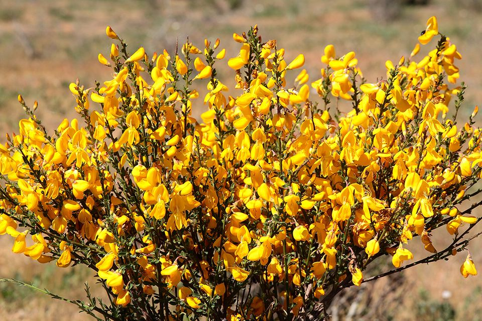 Gelb blühender Ginster als Strauch im Garten