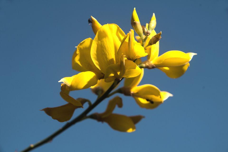 Ginsterblüten in Gelb vor blauem Himmel